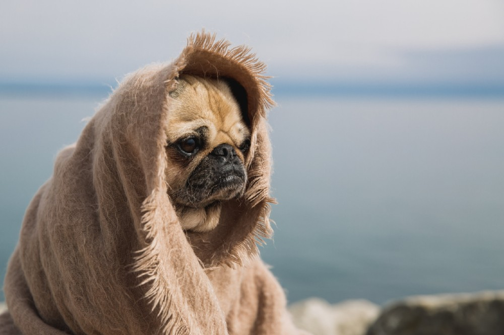 fired pug thinks about life
